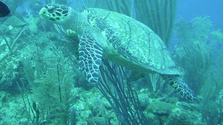 Photo : caméra de l'équipe de plongée; Rencontre avec une tortue