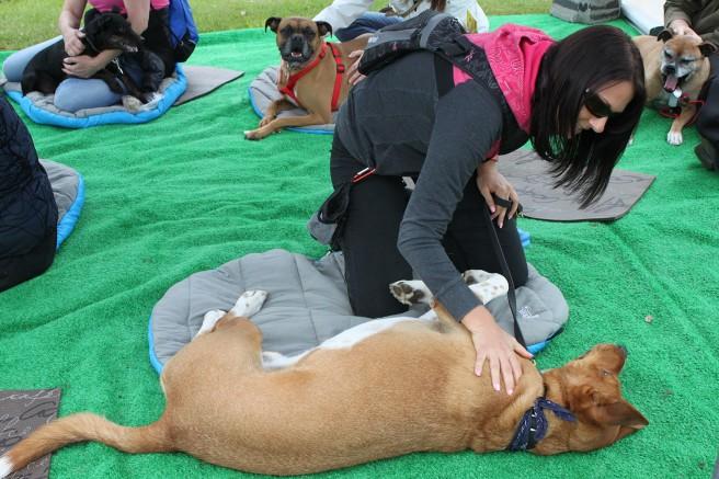 Photo : Élise Paquin ; Lucky le chien a grandement apprécié les massages canins administrés par sa maîtresse sous les conseils judicieux de Francine Morin.