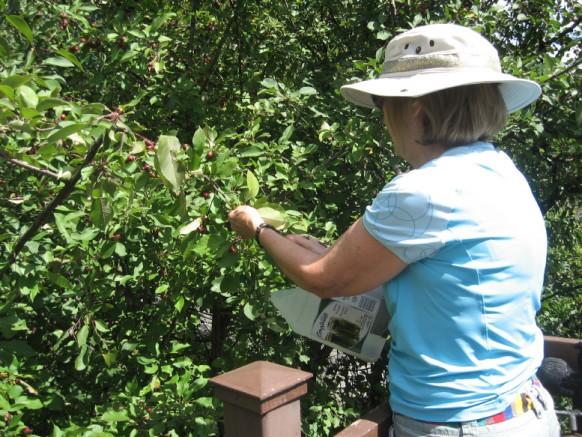 Photo: Myrielle Des Landes; Nous avons transformé un contenant de 4 litres de vinaigre en cueille-fruits; super pour récolter les petits fruits; cerises à grappes, bleuets, pommettes, mûres, framboises. Les enfants adorent ce bricolage! Nous utilisons aussi les bouteilles de 2 litres de boissons pour en faire des cueille-fruits pour les pommes.