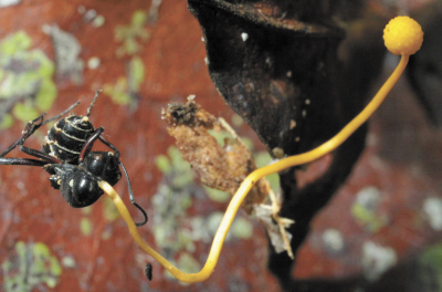 Chez les abeilles, les chercheurs ont trouvé deux suspects: un virus appartenant à la famille des Iridoviridae et un champignon microscopique unicellulaire Nosema ceranae. – photo courtoisie