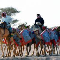 La promenade des dromadaires de course. Mai est le mois de la fin de la saison des courses à travers la Péninsule Arabique. Photo Diane Brault